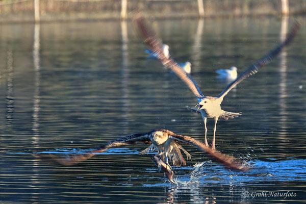 Fischadler (Pandion haliaetus) mit Beute wird von einer jungen Silbermöwe (Larus argentatus) verfolgt.