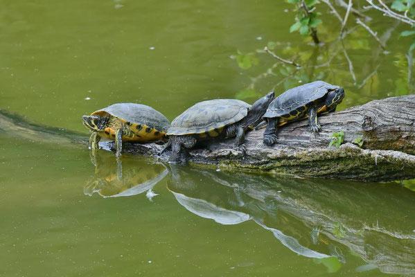 Gelbwangenschmuckschildkröte (Trachemys scripta) - Neozoen ursprünglich aus Nordamerika, Berlin-Dahlem