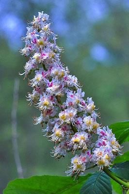 Blüte der Weißen Rosskastanie (Aesculus hippocastanum)