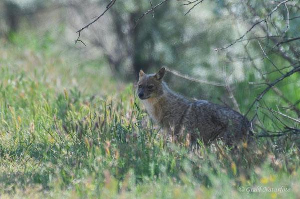 Goldschakal (Canis aureus) bei Vadu.