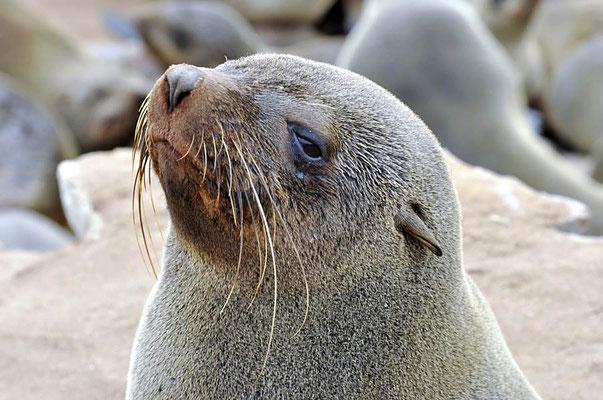 Südafrikanische Seebären (Arctocephalus pusillus) gehören zu den Ohrenrobben (Otariidae) und zählen 7 Gattungen mit 16 Arten.