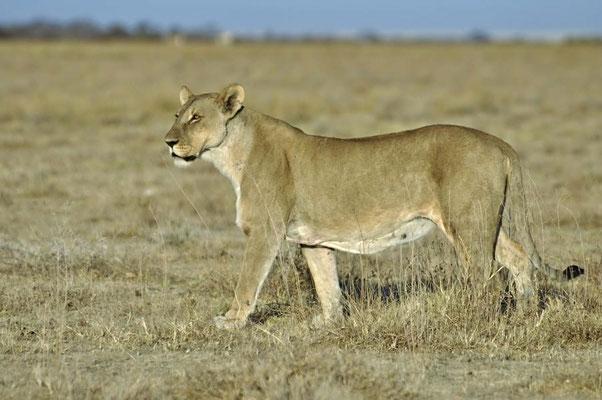 """Kalhari-Löwin (Panthera leo vernayi), Löwen gehören zu den bekanntesten Tieren und zählen zu den """"Big Five"""", den fünf prominenten Großwildarten Afrikas."""
