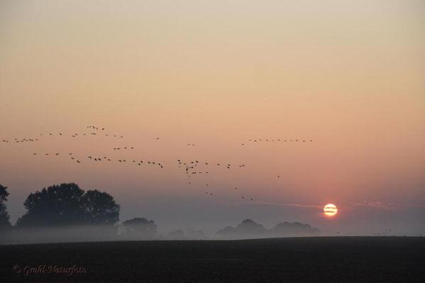 Herbstrast der Kraniche im Rhin- und Havelluch 2020. Sonnenaufgang und Ausflug der Kraniche vom Schlafplatz.