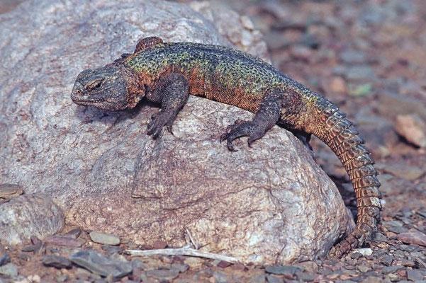 Marokkanischer Dornschwanz (Uromastyx nigriventris), der Pflanzenfresser speichert Energie und Wasser in seinem Dornschwanz.