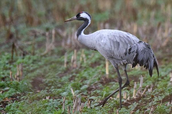 Herbstrast der Kraniche im Rhin- und Havelluch 2018 - Altvogel