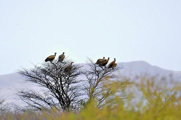 Weißrückengeier (Gyps africanus), das Verbreitungsgebiet der Art umfasst große Teile Afrikas südlich der Sahara.