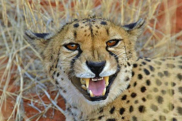 Gepard (Acinonyx jubatus), die in ihrem Jagdverhalten hoch spezialisierten Katzen gelten als schnellste Landtiere der Welt. (C)