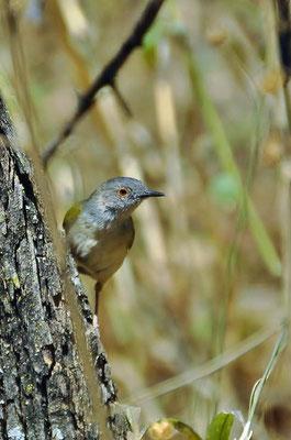 """Graurücken Bogenflügel oder Graurücken Camaroptera (Camaroptera brevicaudata) wird im Englischen """"Grey-backed Camaroptera"""" genannt."""