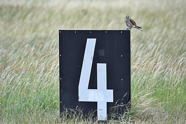 Turmfalke (Falco tinnunculus) - Weibchen, Berlin-Tempelhofer Feld