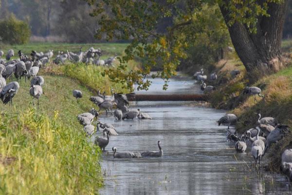 Herbstrast der Kraniche im Rhin- und Havelluch 2019 - Baden in einem Graben.