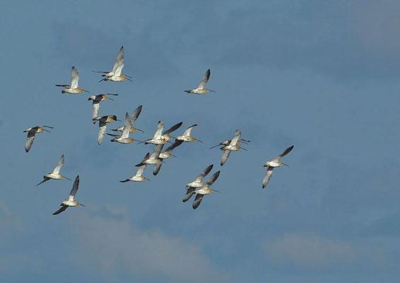 Große Brachvögel (Numenius arquata), Wattseite