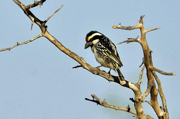 Beim Rotstirnbartvogel (Tricholaema leucomelas) handelt es sich um eine Unterordnung der Spechte und wie der Name schon andeutet gehört er zu den Bartvögeln.