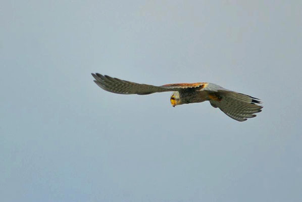 Turmfalke (Falco tinnunculus) auf der Jagd - Terzel