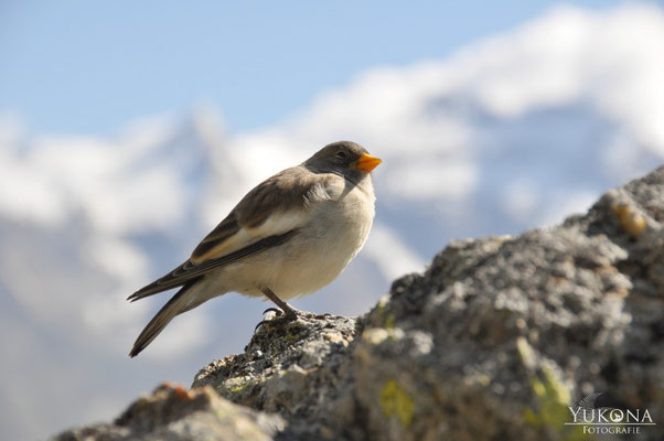 Schneefink Jungvogel