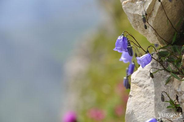 Glockenblumen im Fels