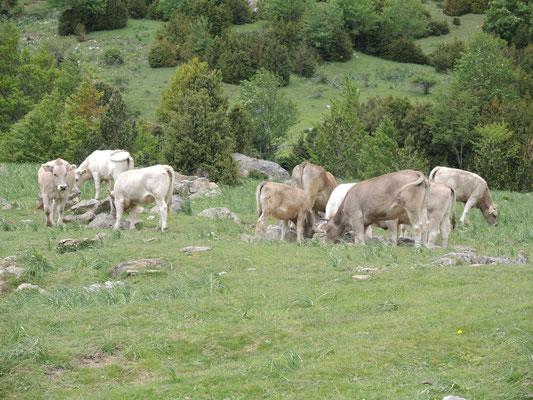 Noch sind die Kühe in sicherer Entfernung.....