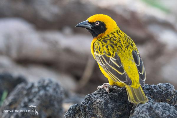 Yellow weaver (Webervogel)