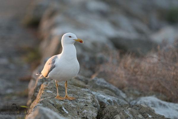 Yellow-legged gull / Mittelmeermöwe