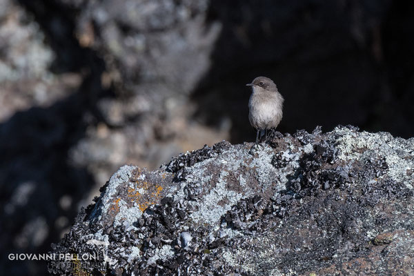 Bird at Mawenzi Tarn Hut (4'330 m)