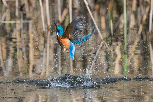 Kingfisher / Eisvogel