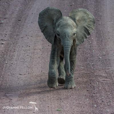 Young elephant (Junger Elefant)