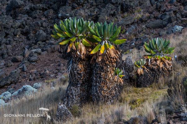 Giant groundsels above Mawenzi Tarn Hut (4'330 m) - Senezien oberhalb Mawenzi Tarn Hut