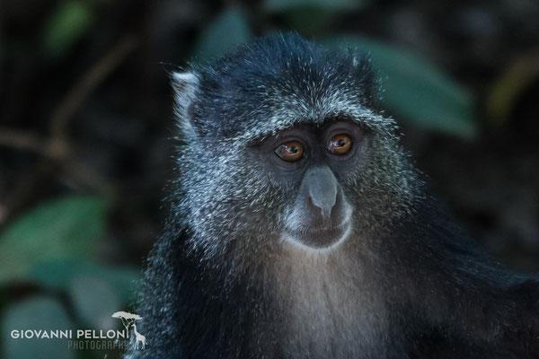 Blue monkey (Diademmeerkatze)