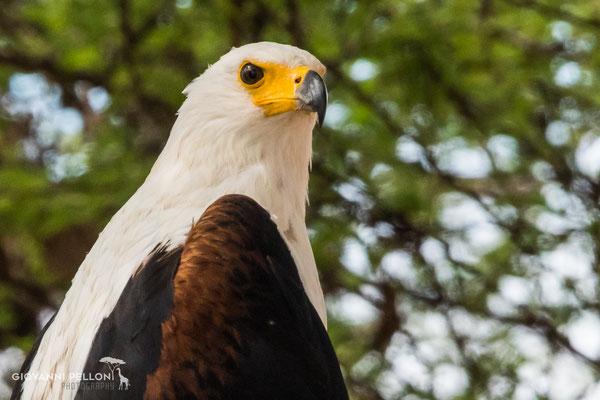African fish eagle (Schreiseeadler)