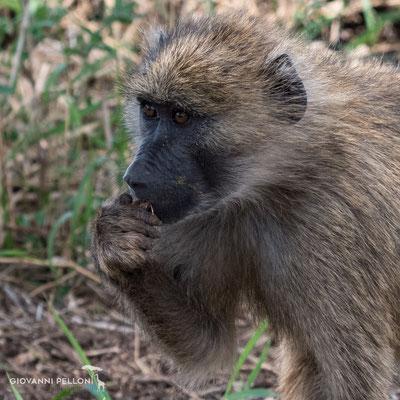 Baboon (Pavian)