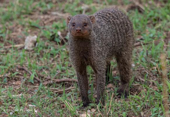 Banded mongoose (Zebramanguste)