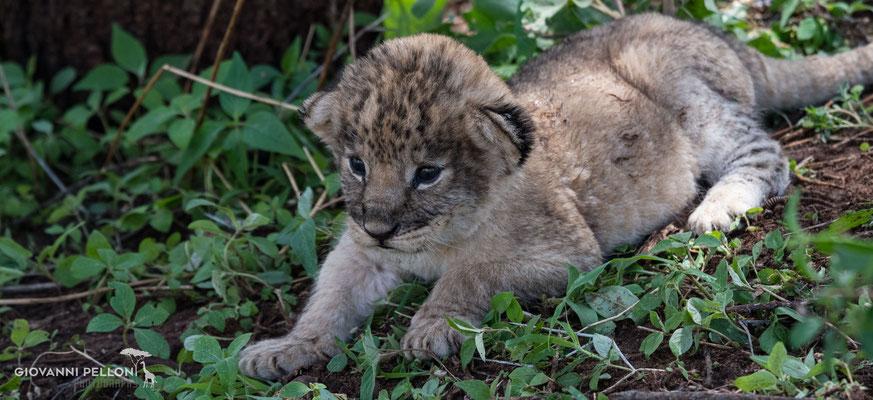 Baby lion (Babylöwe)