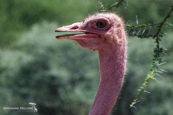Ostrich (Strauss)