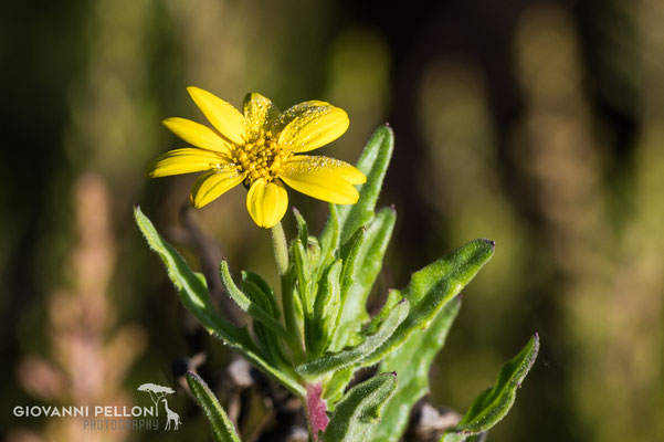 Flower near Simba Camp (2'671 m)