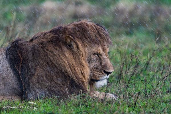 Lion in the rain (Löwe im Regen)