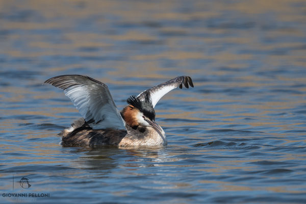 Great crested grebe / Haubentaucher