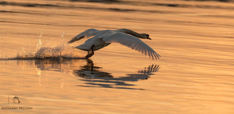 Mute swan (Höckerschwan)