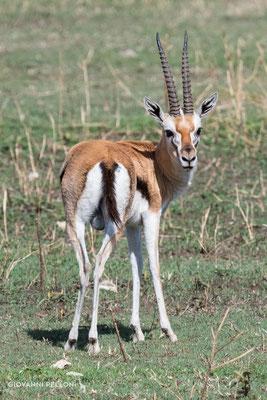 Thomson's gazelle (Thomson Gazelle)