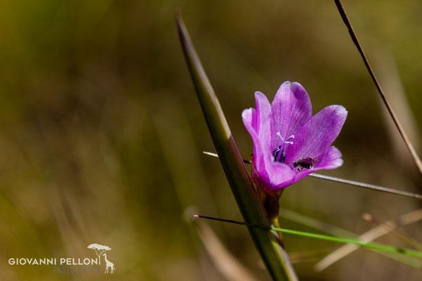 Flower near Horombo Hut (3'720 m)