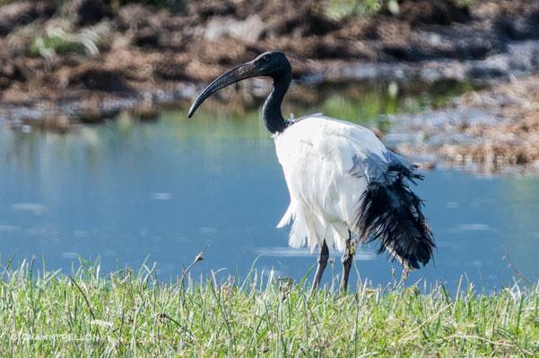 Sacred ibis (Heiliger Ibis)