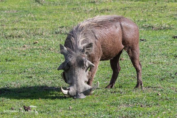 Warthog (Warzenschwein)