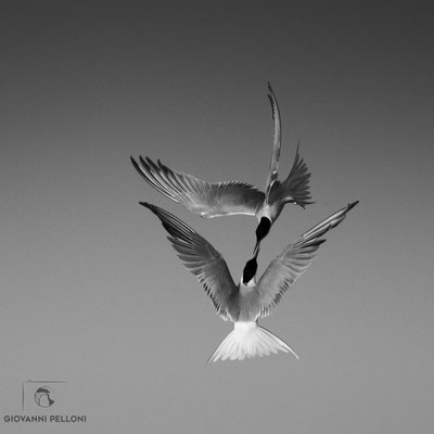 Common tern / Fluss-Seeschwalbe