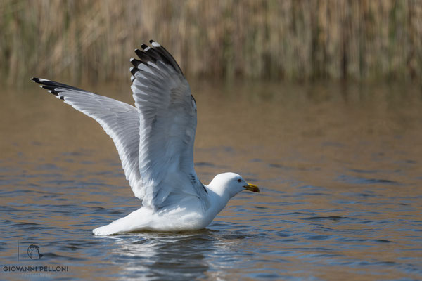 Yellow-legged gull / Mittelmeermöwe