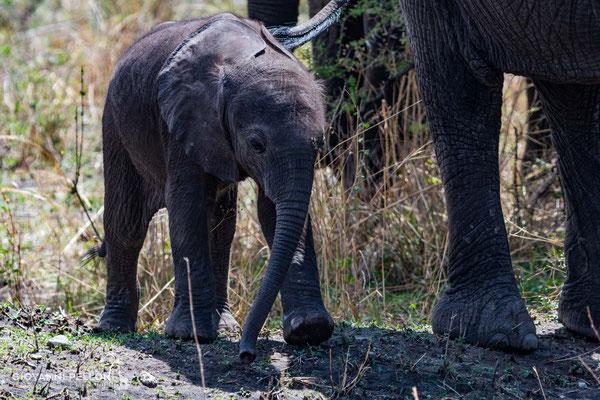 Baby elephant (Junger Elefant)