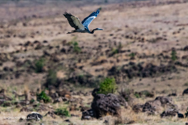 Black-headed heron (Schwarzhalsreiher)
