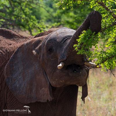Elephant (Elefant)