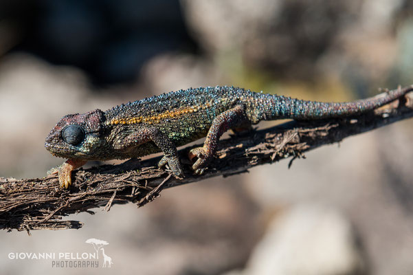 Chameleon near Second Cave  (3'450 m)