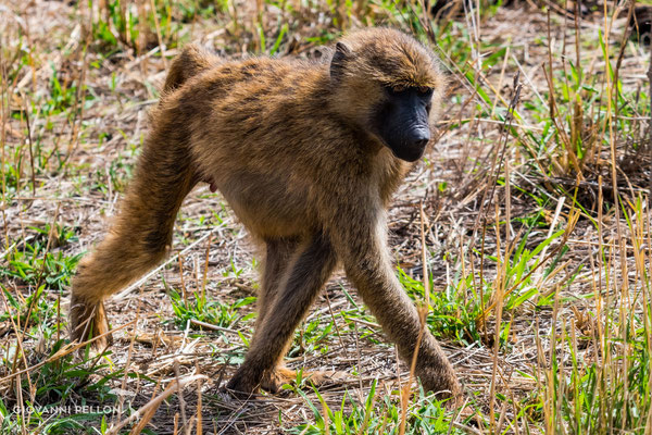 Young baboon (Junger Pavian)