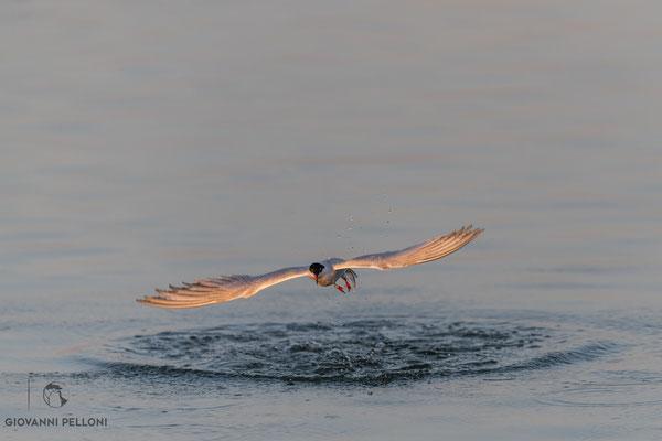 Common tern / Fluss-Seeschwalbe