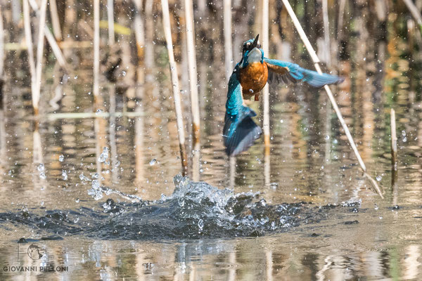Kingfisher / Eisvogel