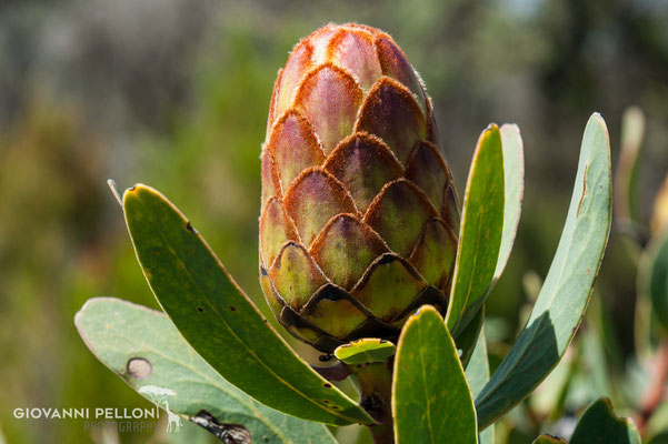 Protea (protea kilimanjaro) - near Second Cave  (3'450 m)